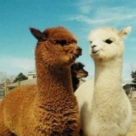 Keith Urban's pet Furry Alpacas