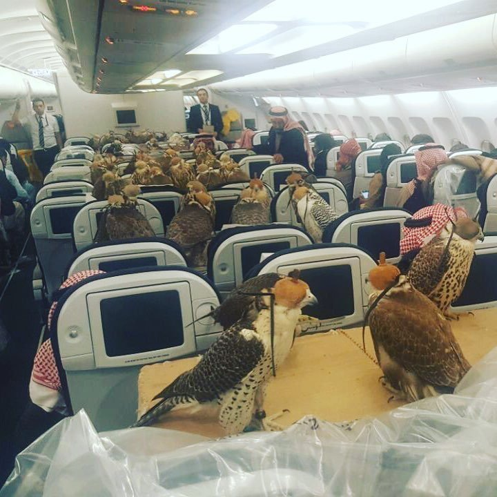 80 Falcons Riding a Coach Flight