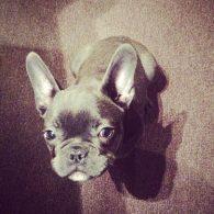Jessie J's pet Jackson Cornish