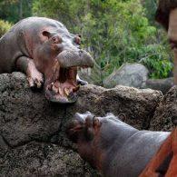 Pablo Escobar Hippos Colombia Hacienda Napoles