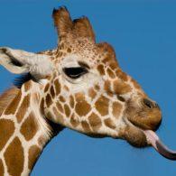 Michael Jackson's pet Giraffes