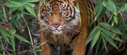 Rare Sumatran Tiger Couple Makes It Facebook Official for Valentine's Day