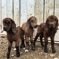 Chip Gaines' pet Goat Triplets