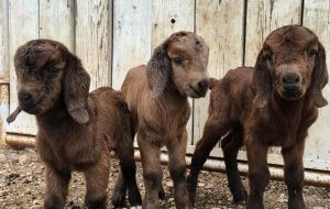 Chip and Joanna Gaines - Goats - Triplets
