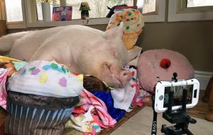 Esther The Wonder Pig - sleeping cupcakes