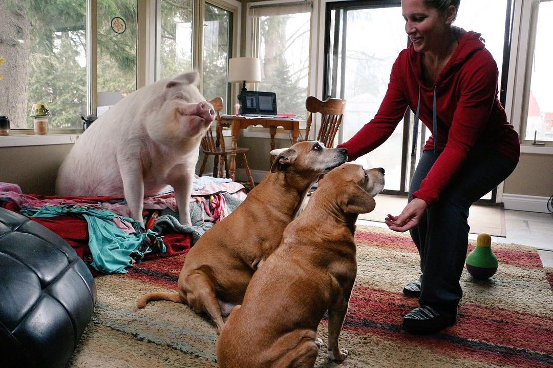 Esther The Wonder Pig with The Dogs