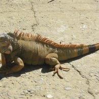 Lil Wayne's pet Giant Iguanas
