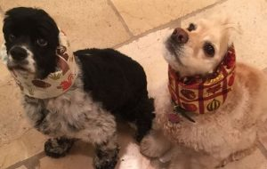 Springer Spaniels Lauren and Sunny - Oprah