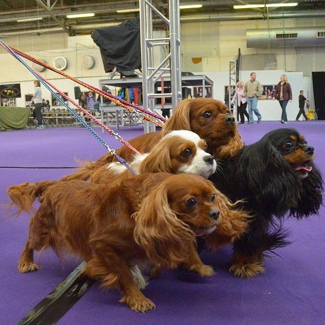 Westminster Dog Show - Dog Lineup