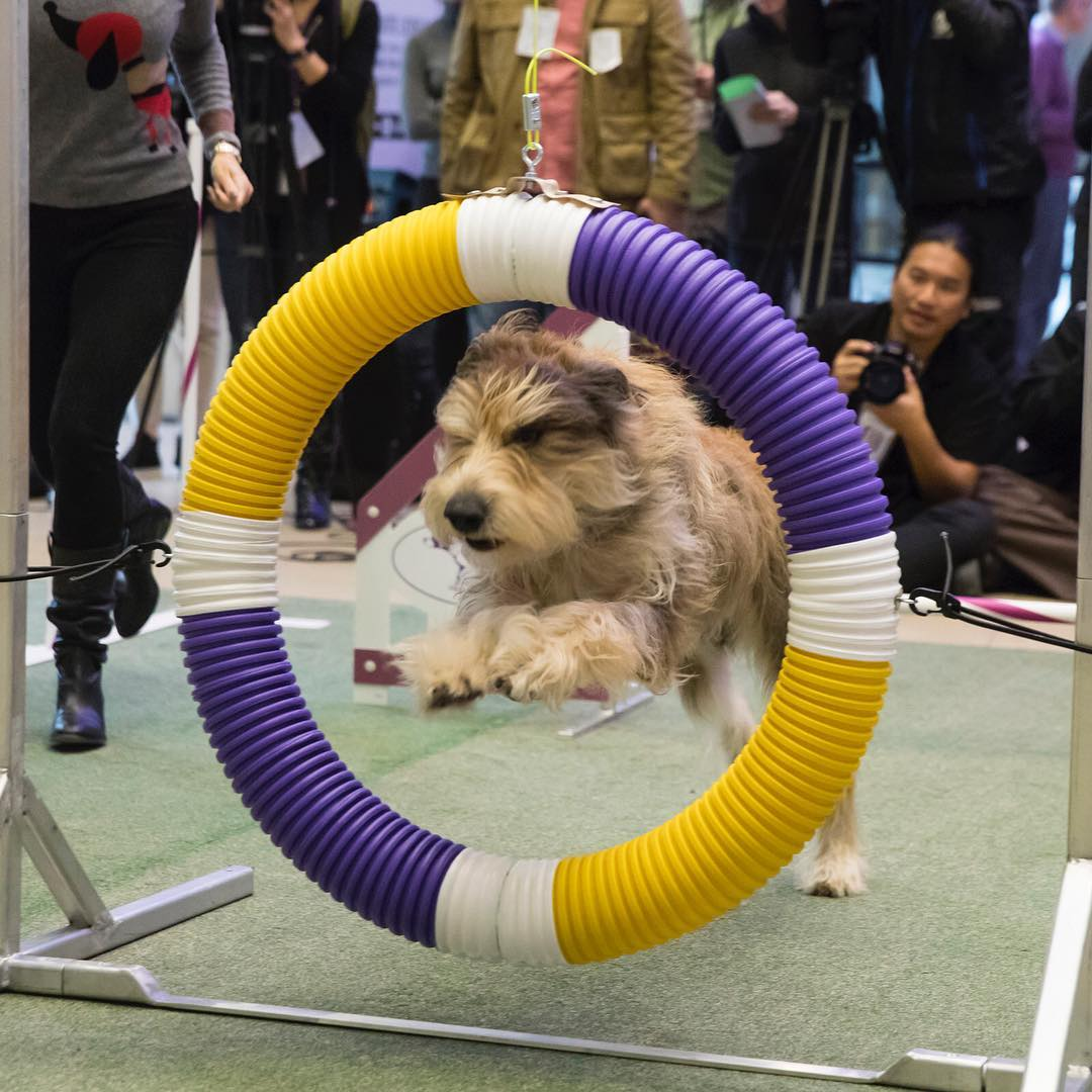 Westminster Dog Show - dog ring jump