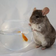 Angelina Jolie's pet Gerbils And Goldfish