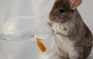 Brad Pitt - Gerbil and Goldfish