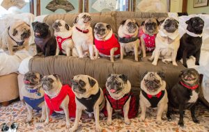 #PugChat: The Weekly Wednesday Twitter Chat All About Pugs