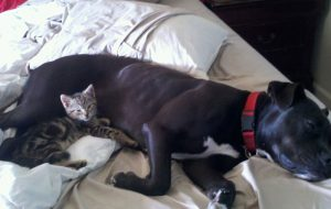 BooBoo the cat's and her pit bull friend