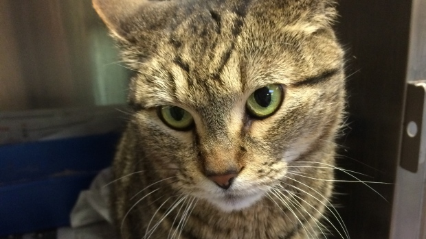 BooBoo the lost cat from the Humane Society
