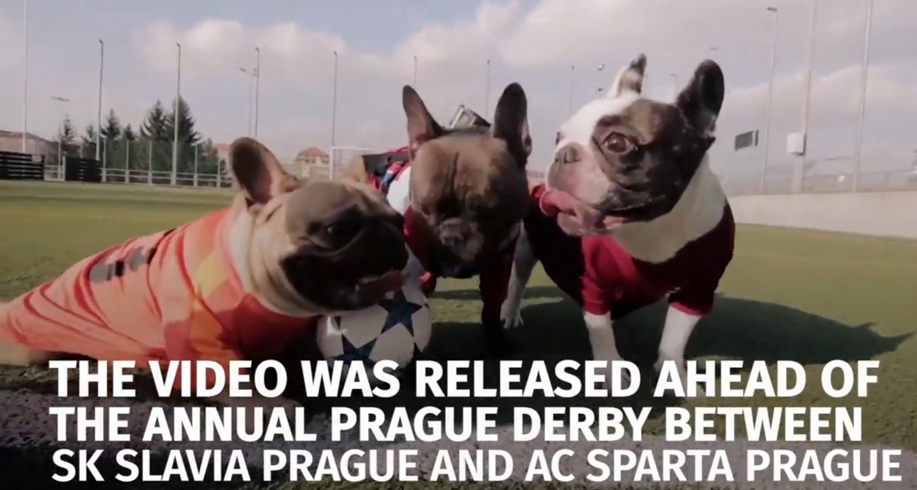 French Bulldogs Playing Soccer for Disabled Dog Charity