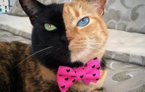 Venus, the two-faced Chimera cat - Instagram