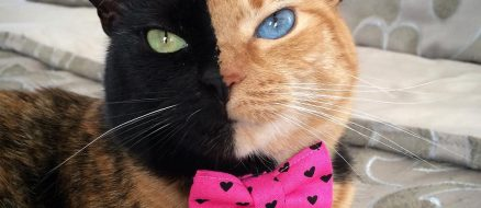 Venus the two-faced Chimera Cat is a Biological Miracle and also Instafamous