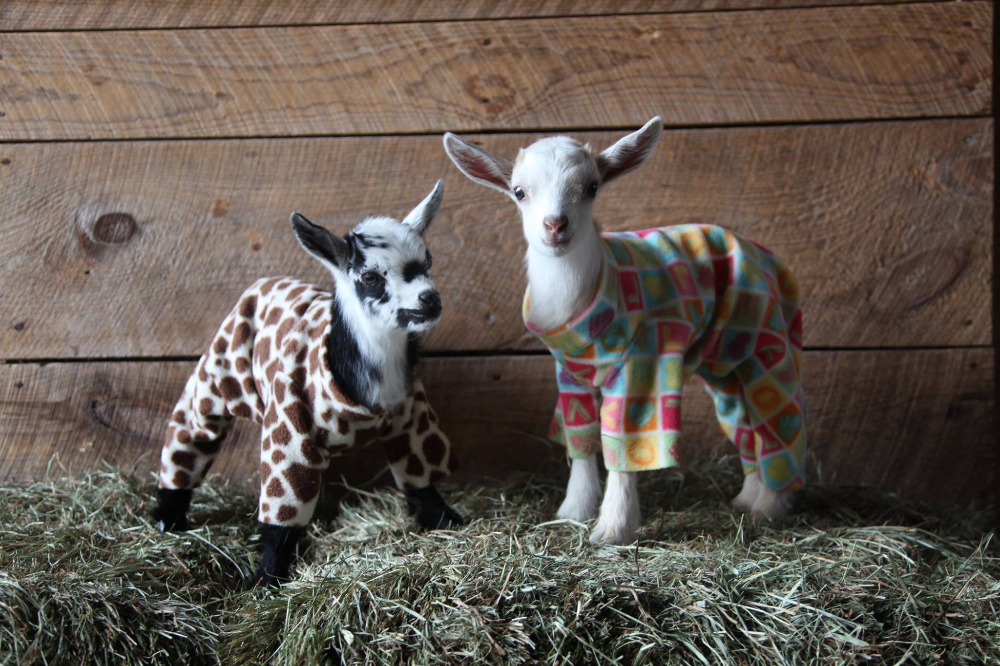 Baby Goats in PJs Frolicking in Colorful Onsies