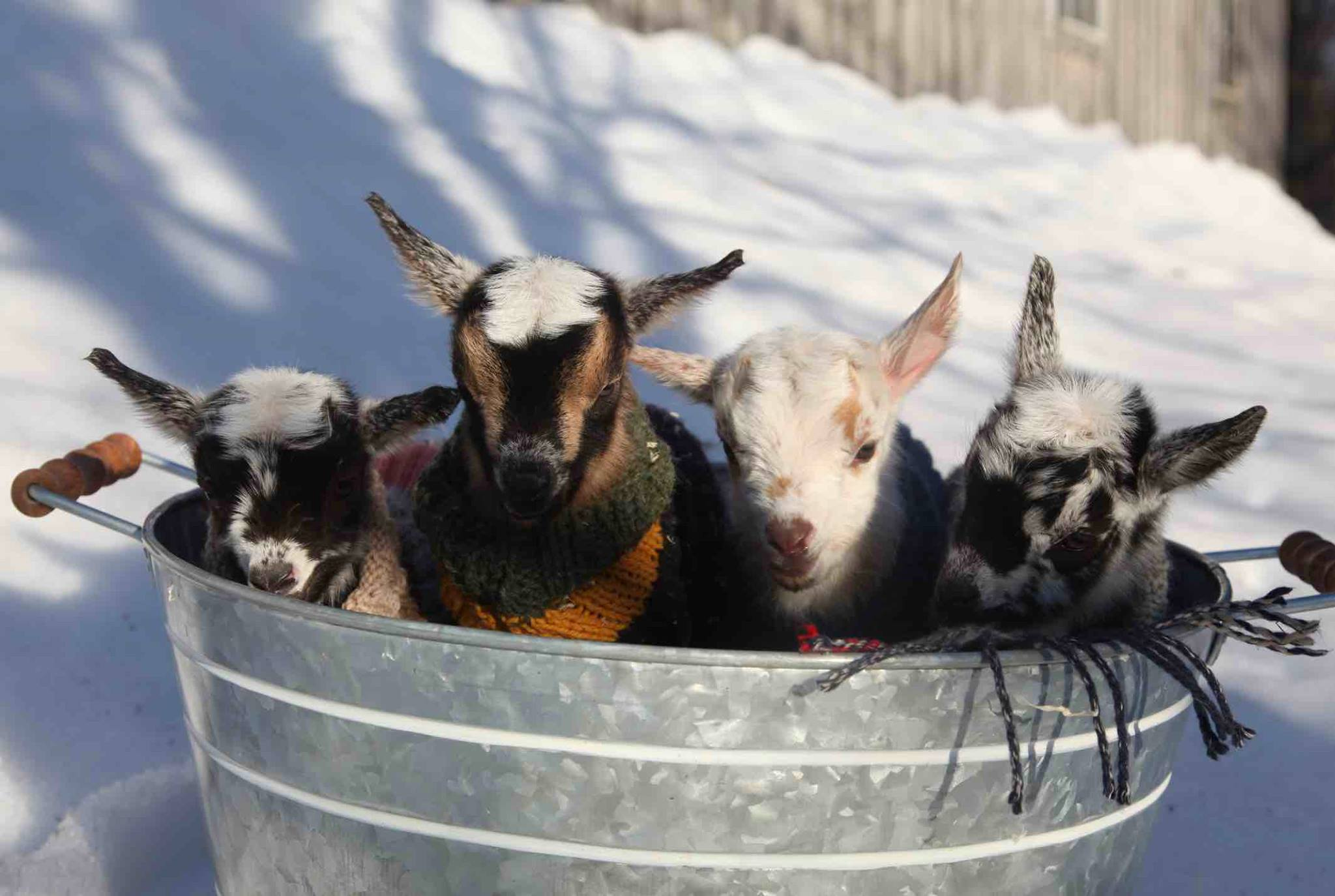 Baby Goats in a Bucket