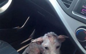Stray sick dog risked jumping in a stranger's car, saving her life 4