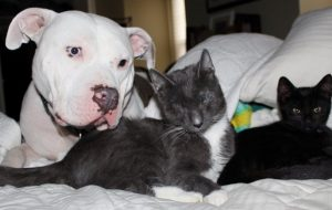 Pit Bull Mom Adopting 3 Blind Kittens