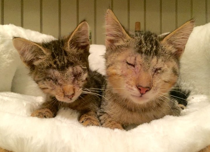Blind kittens adopted by a pit bull