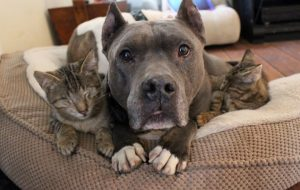 The Rescue Pitbull mom with her new kittens