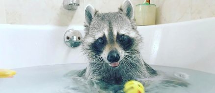 Pumpkin the Orphaned Raccoon That Thinks She's a Dog