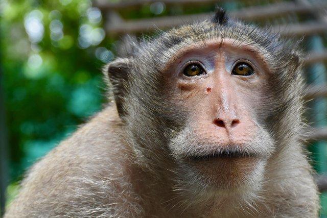 Rocket Macaque monkeywith an arrow in his skull 1