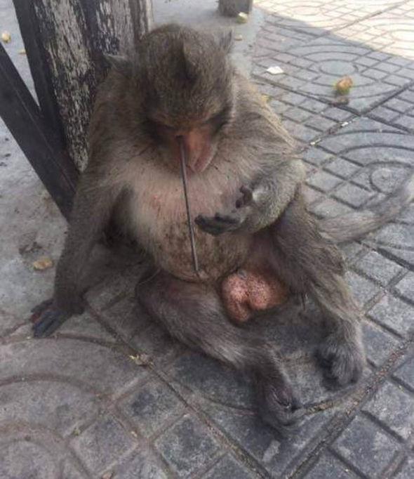 Rocket Macaque monkeywith an arrow in his skull 2