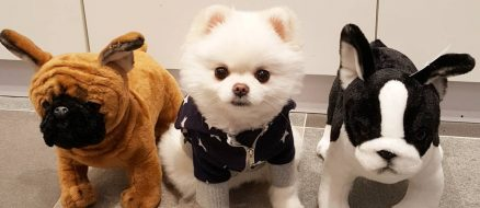 Mango the pomeranian is cuter than everything, wins competition as proof