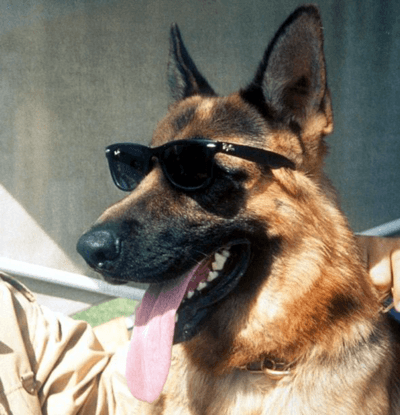 Gunther IV - German Shepherd - richest animal-in-the-world 1