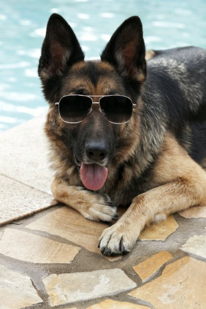 Gunther IV - German Shepherd - richest animal-in-the-world 4