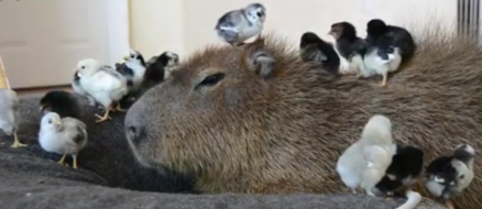 JoeJoe the Capybara the most chill animal on earth is living a great life in Vegas