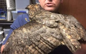 Owl remembers man who saved her life 2