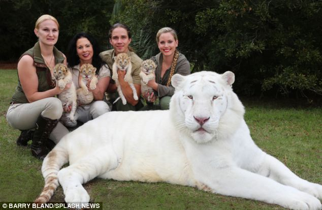 white liger cubs with mom white tiger Ivory