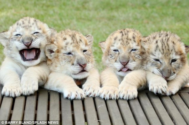 White liger cubs in Myrtle Beach, South Carolina