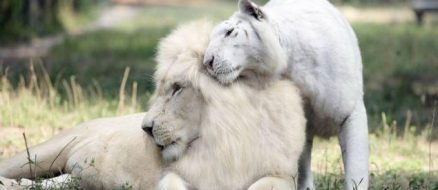 A white lion and white tiger had the cutest (and rarest) babies ever!