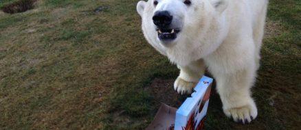 Canadian man has movie star Polar Bear for a pet