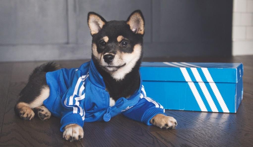 3165932189b Meet @dachihype, the sneakerhead shiba - Celebrity Pet Worth
