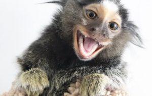 Finger Monkey marmoset diddy yeti kong @realdiddykong