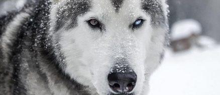 Loki the Wolfdog adventures through backcountry with photographer dad