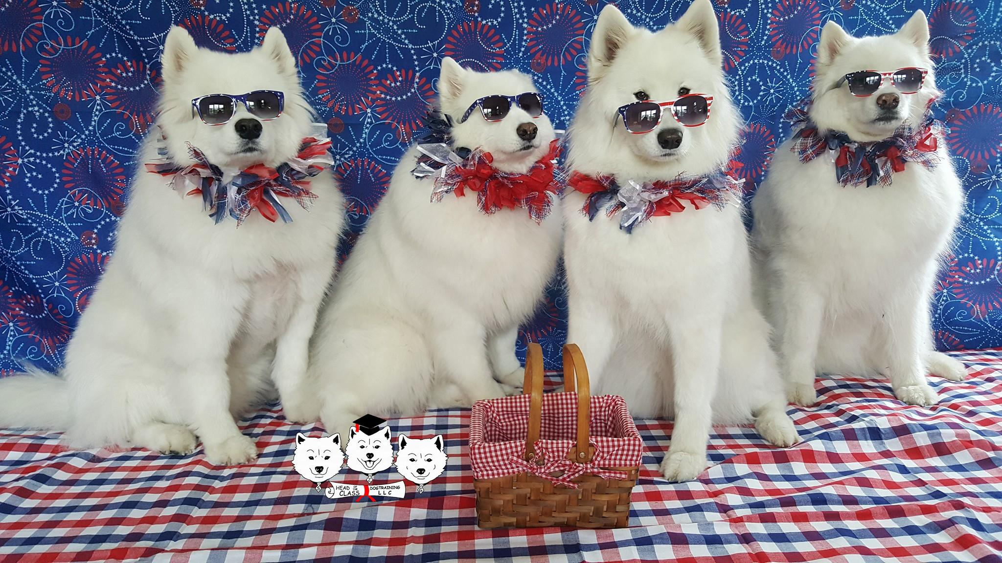 Samoyed Singing dogs