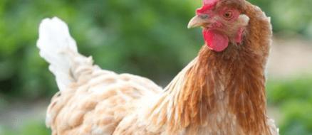 Gigoo the chicken heiress inherits millions