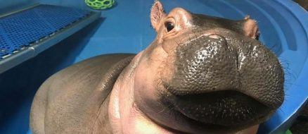 Fiona the baby hippo is the official queen of the summer