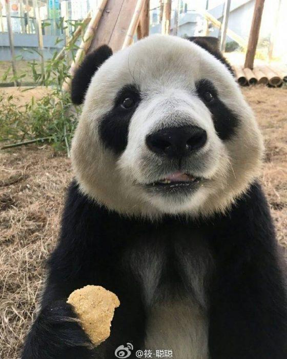 Giant Panda China Saving