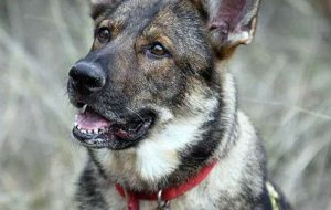 Hero dog luca search and rescue