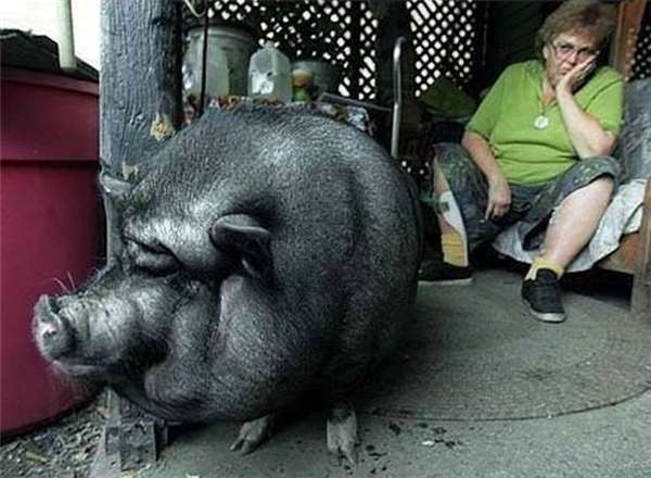 Lulu lifesaving pig