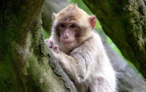 Macaque Monkey Indonesia bali